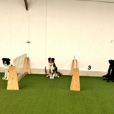 The intermediate class rocking loose leash walking with added distractions